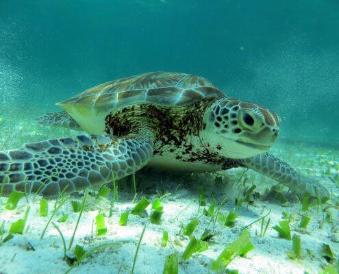 Caye Caulker schildpad
