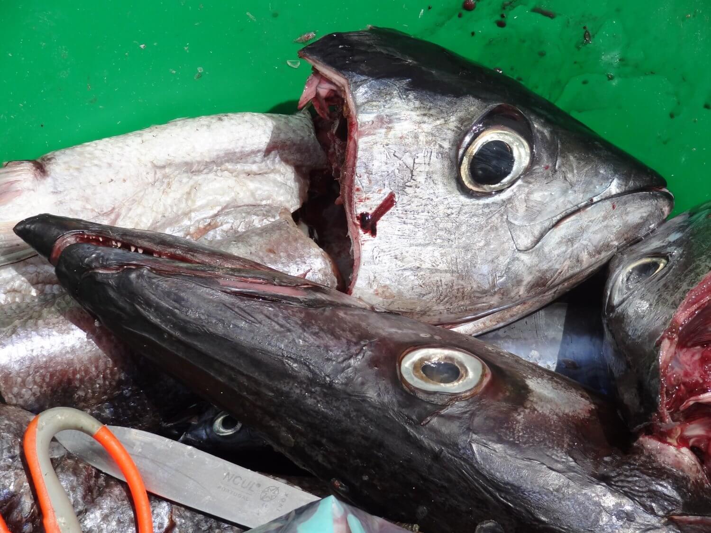Sal Kaapverdië vis op de pier