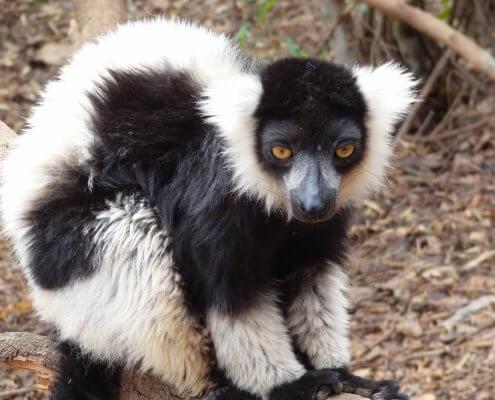 Madagascar Tana Zwart-witte lemuur