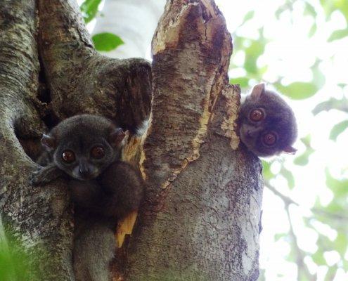 Madagascar Ankarana nachtlemuren