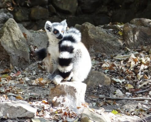 Madagascar Isalo Park schattige Ringstaartmaki