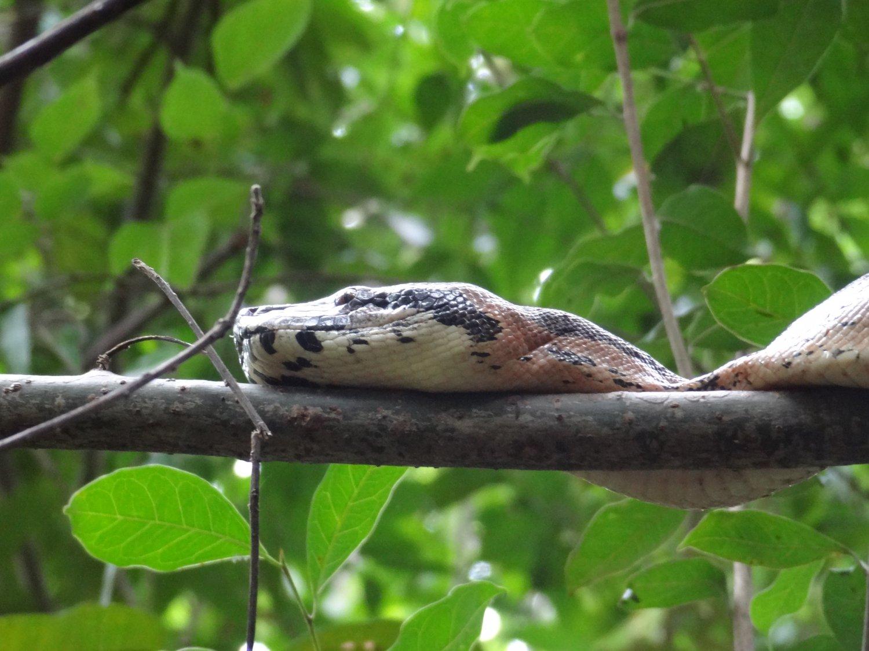 Madagascar Nosy Be Lokoben NP Boa
