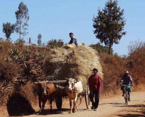 Madagascar fietstocht ossenkar