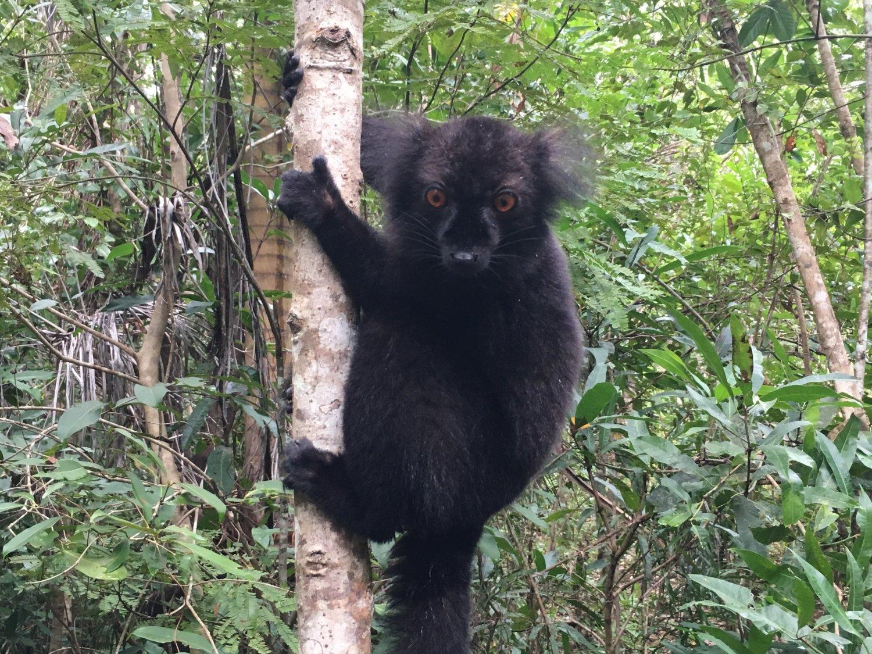 Madagascar Nosy Be Lokoben NP black lemuur