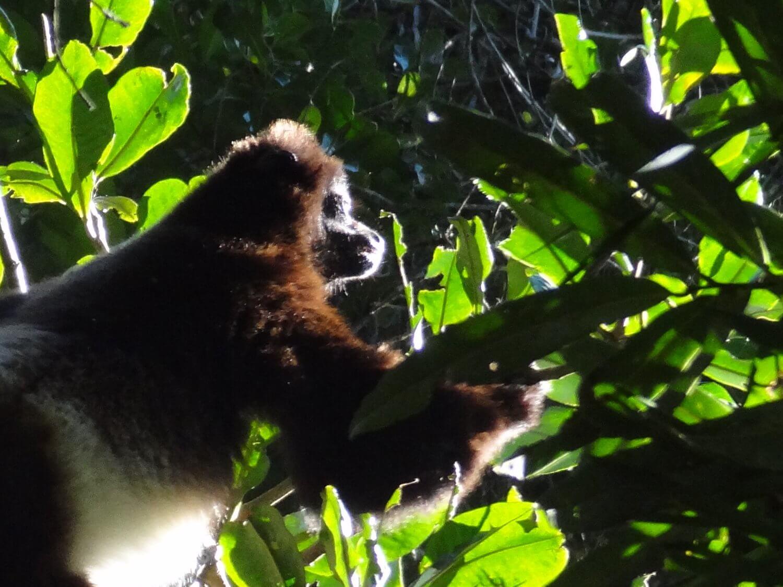 Madagascar Bamboelemuur