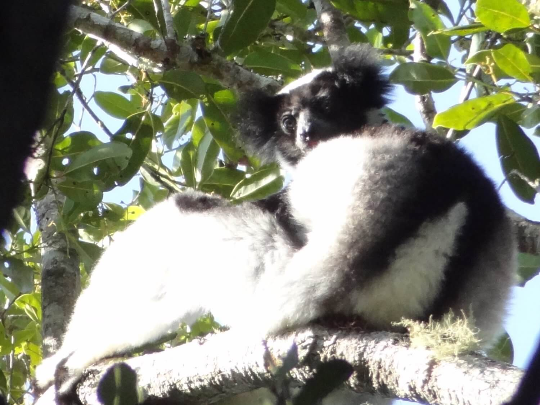 Madagascar Andasibe Indri Indri
