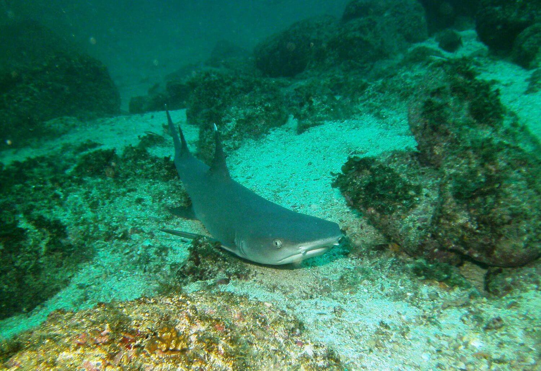 Panama Isla Coiba sharke