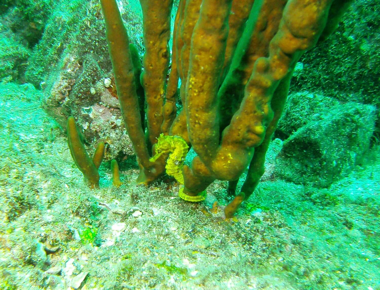 Panama Isla Coiba Sea Horse