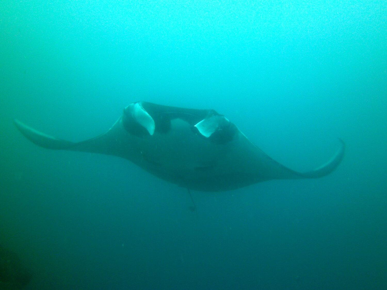 Isla Coiba Manta Ray