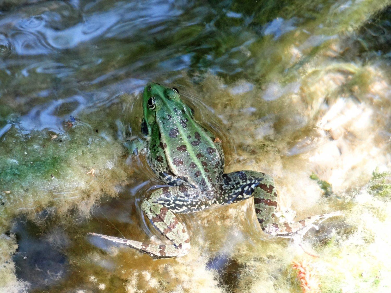 Kroatië Krka waterfalls frog