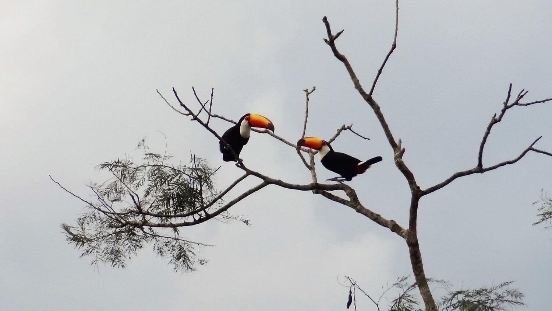 Foz de Iguazu Toekan