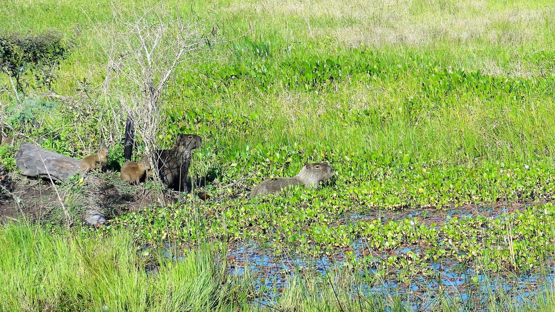 Pantanal Capibara familie