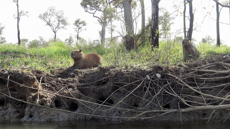 Pantanal Capibara's