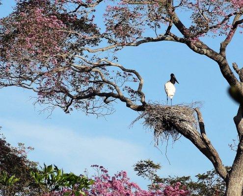 Pantanal Jabiru in boom
