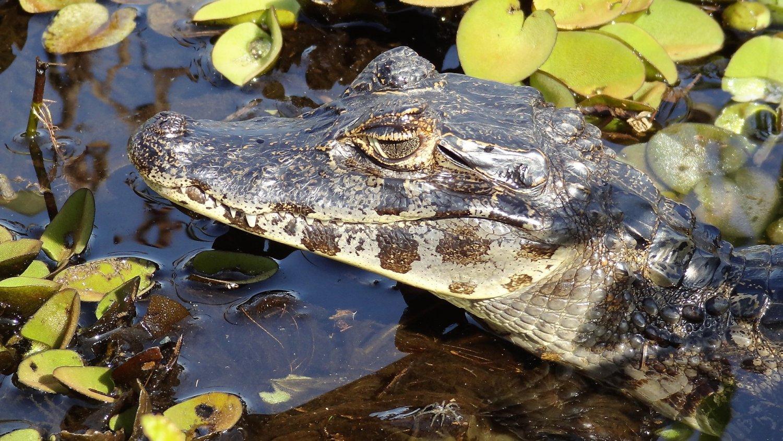 Pantanal Kaaiman kop