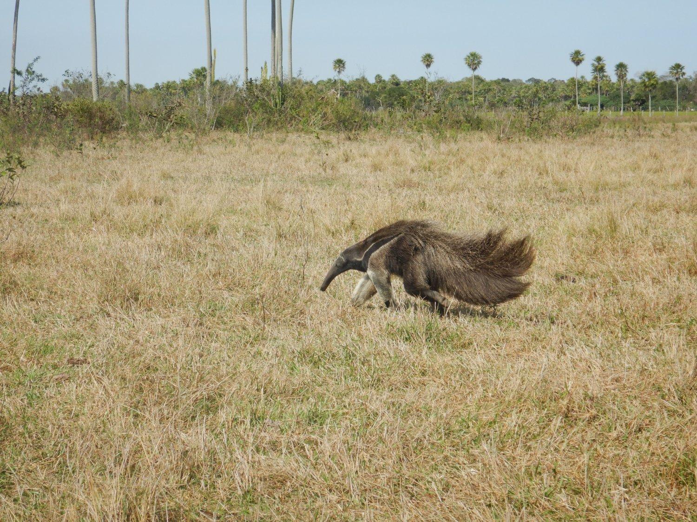 Pantanal giant anteter