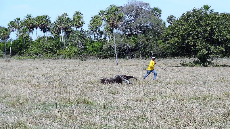 Pantanal reuzen miereneter