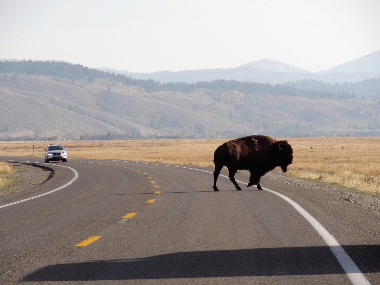 Grand Teton Bizon op de weg