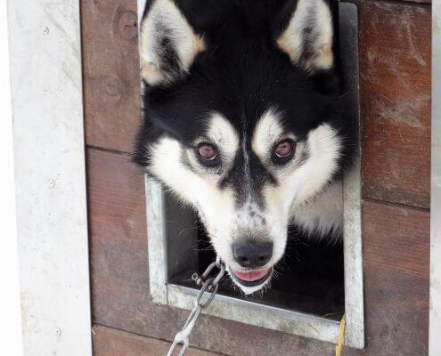 Noorwegen Huskyhond lijkt op wolf