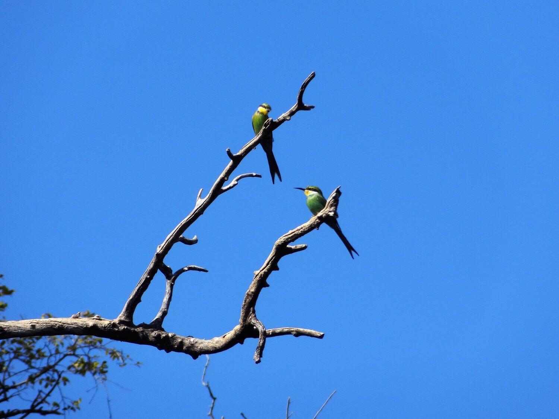 Botswana Chobe Bee eaters