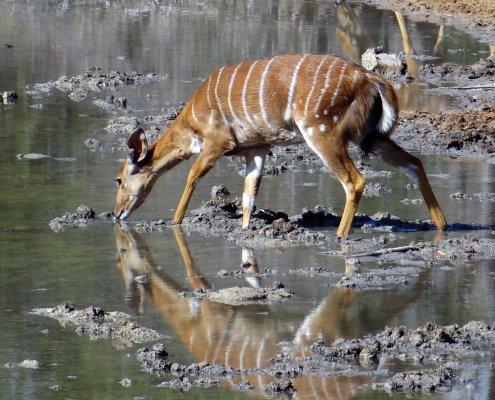 Marakele Nyala bij de waterhole