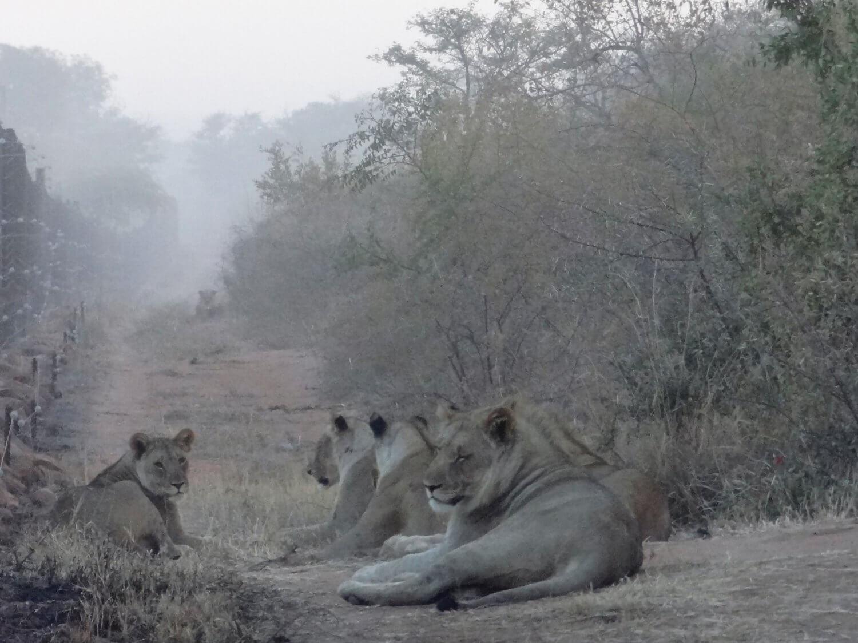 Marakele leeuwen in de vroege ochtend